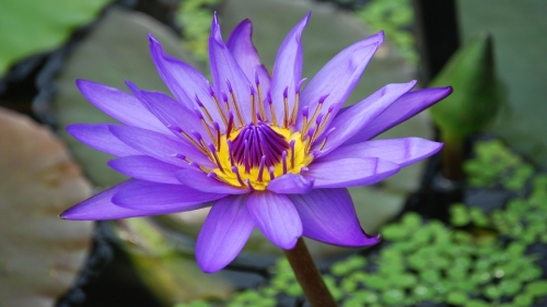 Water Lily by Stevebidmead at Pixabay